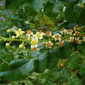 Frankincense - Boswellia carteri