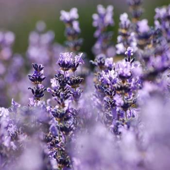 Lavender Wild - Lavendula augustifolia