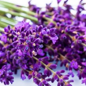 Lavender French Fine Alt. - Lavendula officinalis