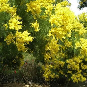 Myrtle - Myrtus communis