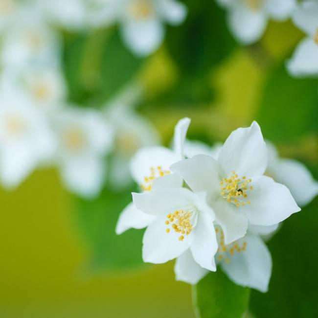 Jasmine Grandiflorum from Kelley Pure Essential Oils