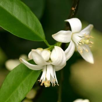 Neroli  Bigarade - Citrus aurantium