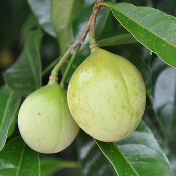 Nutmeg - Myristica fragrans