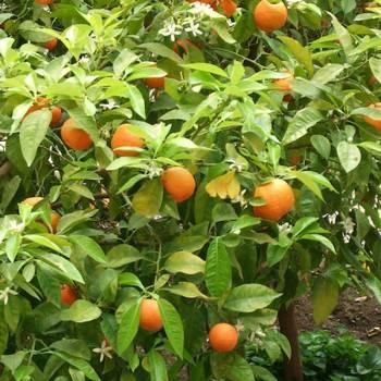 Petitgrain - Citrus aurantium