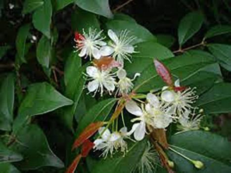 Copaiba Balsam - Copaifera langsdorfii
