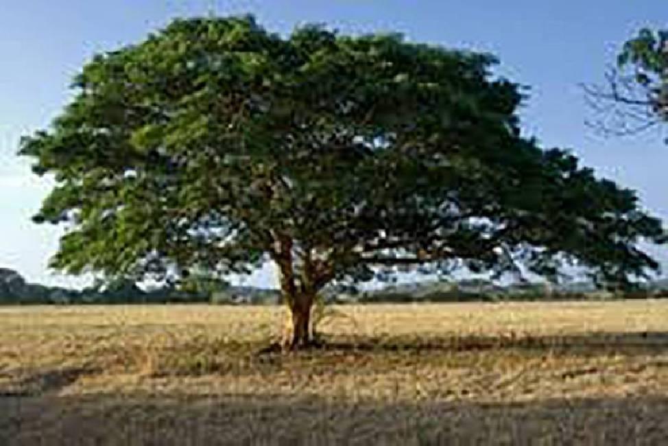 Diesel Trees: Grow Your Own Oil (Copaifera langsdorfii)