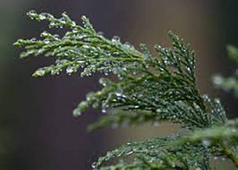Cypress - Cupressus sempervirens