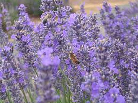 Lavender Spike - Lavendula latifolia