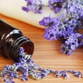 Lavender USA - Lavendula officinalis