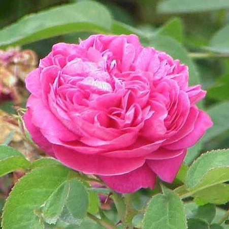 Rose Bulgarian - Rosa damascena
