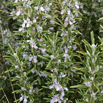 Rosemary - Rosmarinus officinalis ct camphor