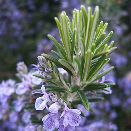 Rosemary - Rosmarinus officinalis ct verbone