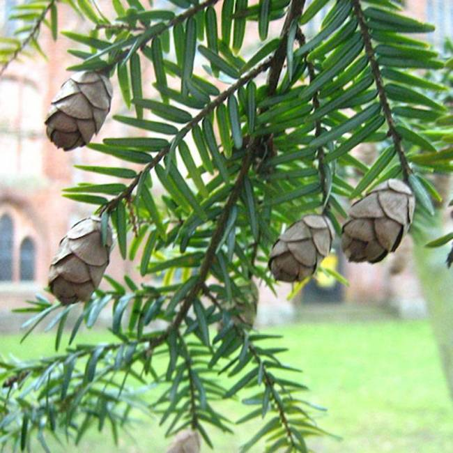 Spruce Hemlock From Kelley Pure Essential Oils