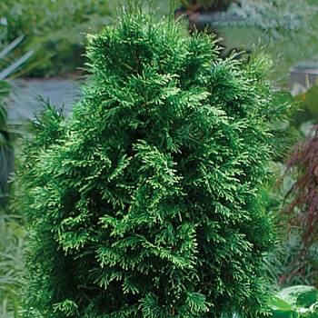 Cedarleaf - Thuja occidentalis