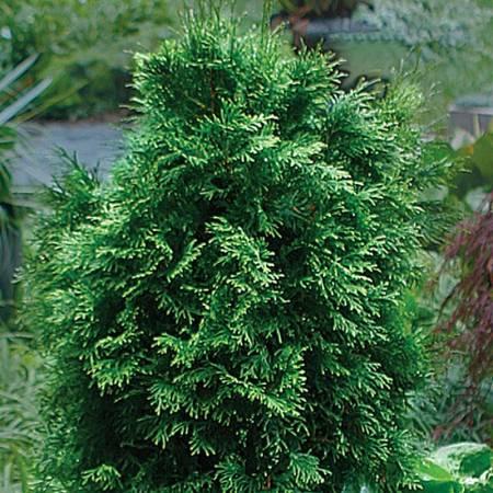 Cedarleaf - Thuja occidentalis