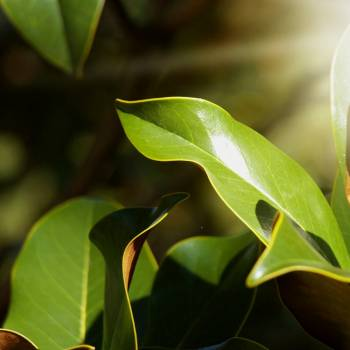Clove Leaf - Eugenia caryophyllata