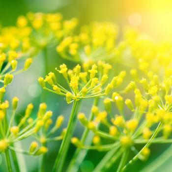 Fennel sweet - Foeniculum vulgare