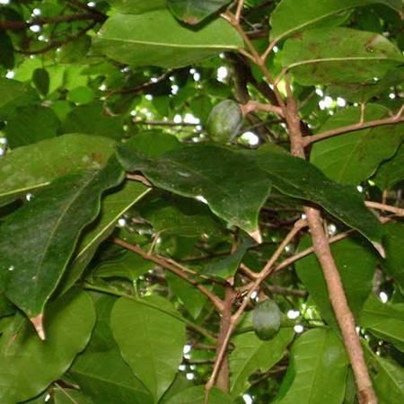 Elemi - Canarium luzonicum