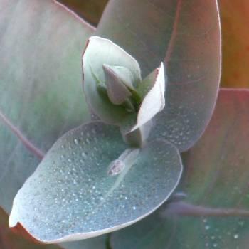 Eucalyptus Radiata - Eucalyptus radiata