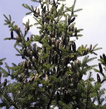 Fir Needle Canadian - Abies balsamea