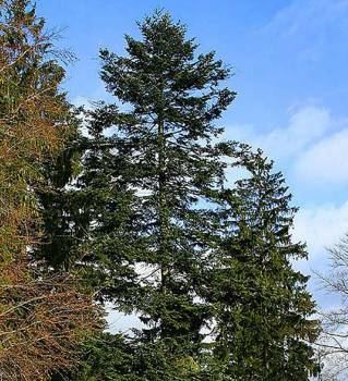 Fir Needle Canadian - Abies balsamea