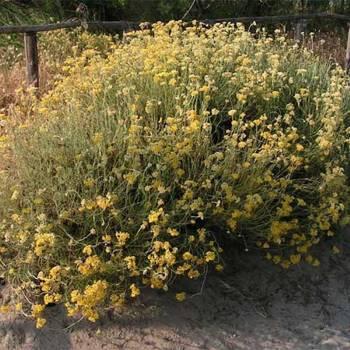 Helichrysum - Helichrysum angustifolium