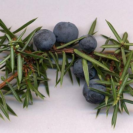 Juniperberry - Juniperus communis