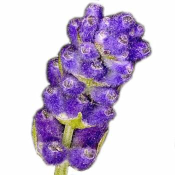 Lavender French Fine Alt. - Lavendula officinalis