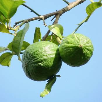 Lime distilled - Citrus aurantifolia
