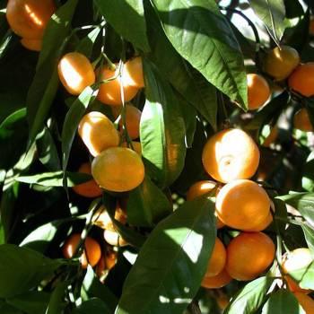 Mandarin - Citrus reticulata
