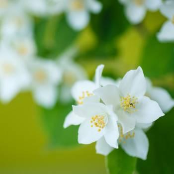Jasmine - Jasminum officinalis