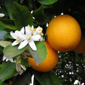 Orange Sweet - Citrus sinensis