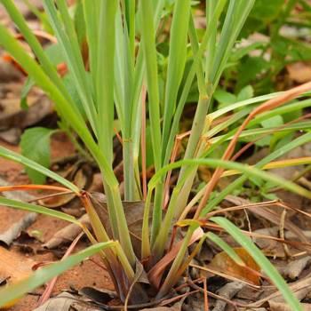Palmarosa - Cymbopogon martini