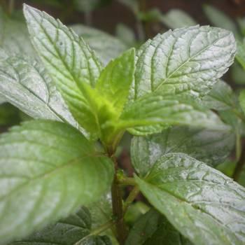 Peppermint Indian  - Mentha piperita