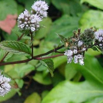 Peppermint Indian  - Mentha piperita
