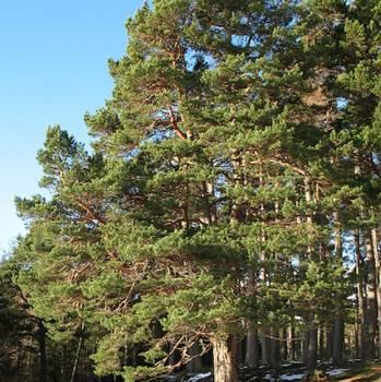 Pine Needle - Pinus silvestris