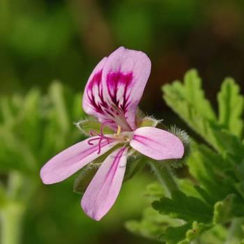 Geranium Rose -