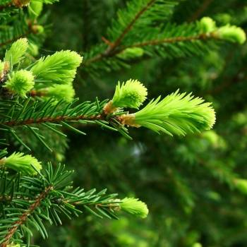 Fir Needle Siberian - Abies sibirica