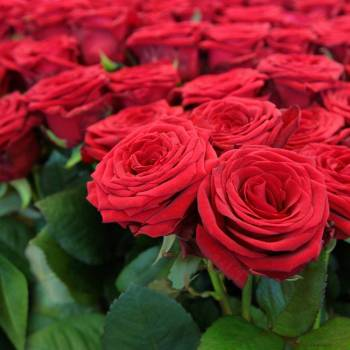 Rose Absolute - Rosaceae