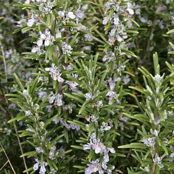 Rosemary - Rosmarinus officinalis ct camphor