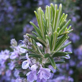 Rosemary - Rosmarinus officinalis ct verbone