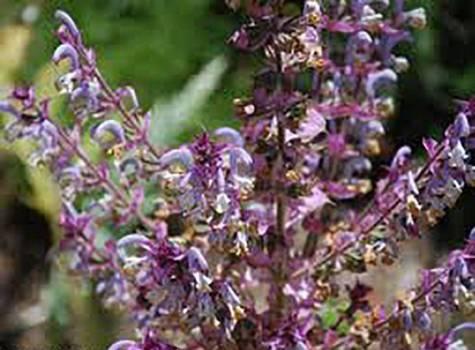 Sage Clary - Salvia sclarea