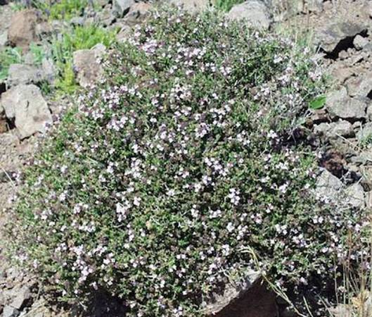Thyme - Thymus vulgaris ct linalool