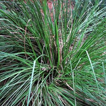 Vitiver - Vetiveria zizanioides
