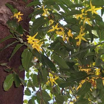 Ylang Ylang III - Cananga odorata