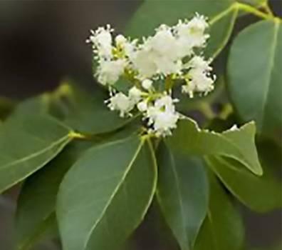 Amyris (Amyris balsamifera)