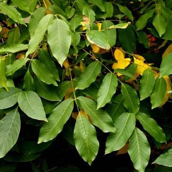 Balsam Peru  (Myroxylon balsamum)