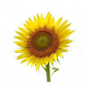 Sunflower Seed Oil - Helianthus annuus