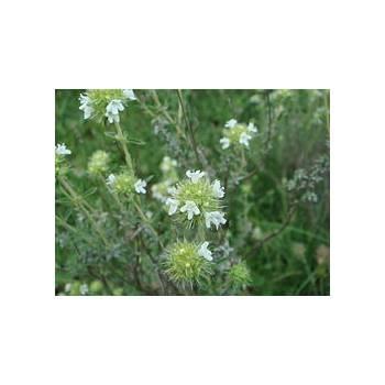 Marjoram Spanish - Thymus mastichina