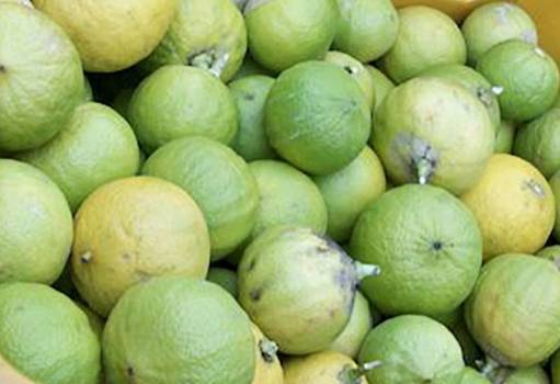 Bergamot bergaptene free (Citrus bergamia)